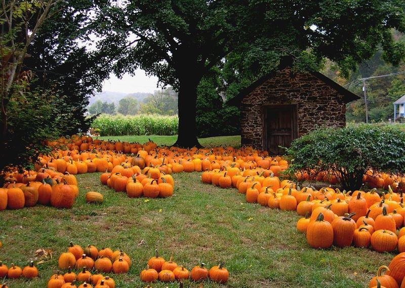 Go Pumpkin Picking