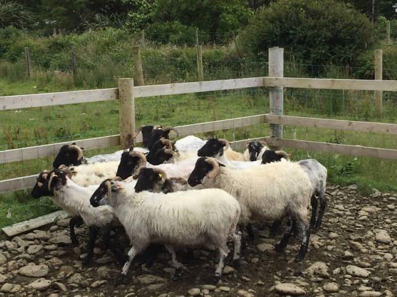 Visit a sheep farm